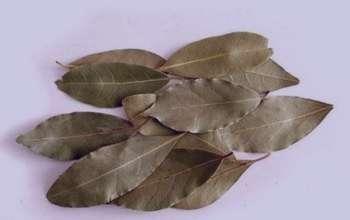 برگ بو چیست , خواص برگ بو چیست , خاصیت برگ بو چیست , کاربرد برگ بو چیست