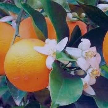 بهار نارنج و دیابت ، رابطه بین بهار نارنج و دیابت ، خواص بهار نارنج و دیابت ، عرق بهار نارنج و دیابت