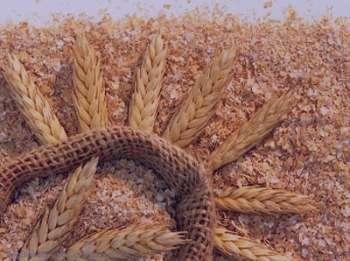 خواص گندم در بارداری , خواص جوانه گندم در بارداری , خواص گندم در دوران بارداری , خواص سبوس گندم در بارداری