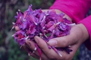 گل گاوزبان و سرماخوردگی , خواص گل گاوزبان و سرماخوردگی , دمنوش گل گاوزبان و سرماخوردگی , مصرف گل گاوزبان و سرماخوردگی