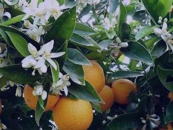 بهار نارنج و خواص آن , خواص بهار نارنج , عرق بهار نارنج و خواص آن