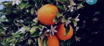 نارنج و دیابت ، نارنج و دیابت بارداری ، نارنج و دیابت