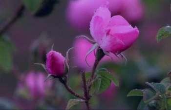 گل محمدی و فشار خون , گل محمدی و درمان فشار خون , خواص گل محمدی و فشار خون