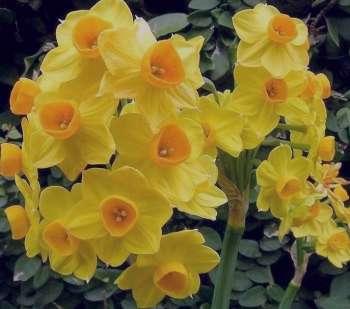 خواص روغن گل نرگس , روغن گل نرگس , خواص گل نرگس