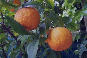 نارنج و خواص آن ، بهار نارنج و خواص آن ، عرق بهار نارنج و خواص آن