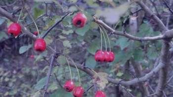 خاصیت میوه زالزالک , خواص میوه زالزالک , خاصیت زالزالک