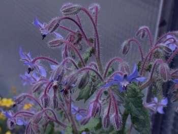 گل گاو زبان در قاعدگی , خواص گل گاو زبان در قاعدگی , تاثیر گل گاو زبان در قاعدگی