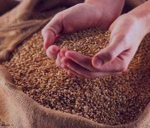 خواص گندم در غذا ، خواص گندم درون غذا ، خواص گندم داخل غذا