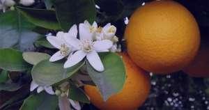 خواص بهار نارنج و فشار خون ، خواص بهار نارنج برای فشار خون ، خواص بهار نارنج