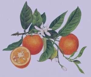 خواص بهار نارنج برای پوست ، خواص عرق بهار نارنج برای پوست ، خواص عرق بهار نارنج برای پوست صورت
