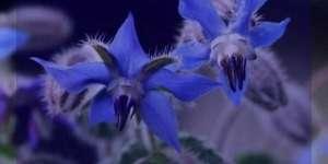 گل گاوزبان در هفته آخر بارداری ، گل گاوزبان در بارداری در آخر هفته ، خوردن گل گاو زبان در هفته آخر بارداری