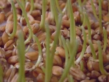 چگونه جوانه گندم درست کنیم , طرز تهیه جوانه گندم , خواص جوانه گندم
