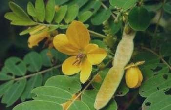 برگ سنا و کبد چرب , رابطه برگ سنا و کبد چرب , مصرف برگ سنا و کبد چرب , مصرف برگ سنا و درمان کبد چرب