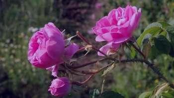گل محمدی با ماست , خواص گل محمدی با ماست , خاصیت گل محمدی با ماست , مصرف گل محمدی با ماست