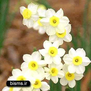 گل نرگس ، خواص گل نرگس