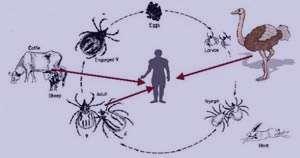 تب کریمه کونگو,بیماری تب کریمه کونگو,تب کریمه کونگو در بارداری,علائم تب کریمه کونگو,درمان تب کریمه کونگو