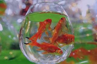 ماهی قرمز, شرایط نگهداری ماهی قرمز