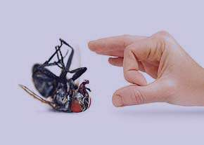 نيش عقرب, نيش حشرات
