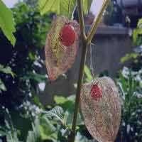 دارو های گیاهی - داروهای ضد تب و تب بر