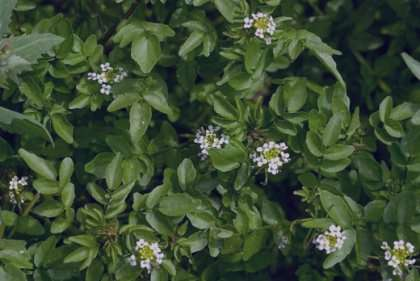علف چشمه ،علف چشمه چیست،علف چشمه در ایران،علف چشمه یا بولاغ اوتی،علف چشمه گیاه