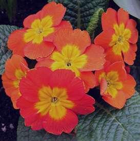 همه چیز درباره خواص درمانی گل پامچال