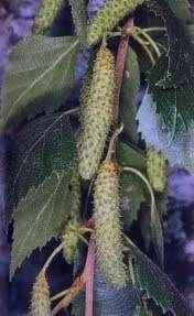 آشنایی با خواص درمانی درخت غان