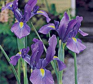زنبق , خواص زنبق , خواص ریشه زنبق , انواع گل زنبق