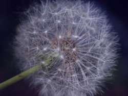 خواص و فواید گل قاصدک