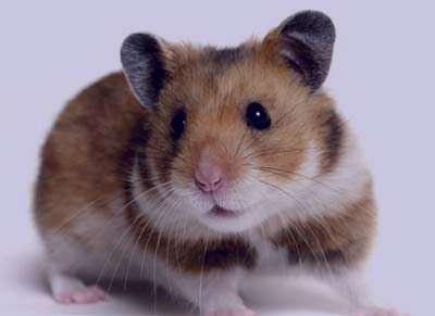 تعبیر خواب موش , موش در خواب دیدن , تعبیر خواب موش , تعبیرخواب موش مرده