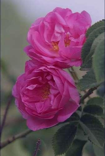 گل محمدی، برای دردهای روماتیسمی مفید است