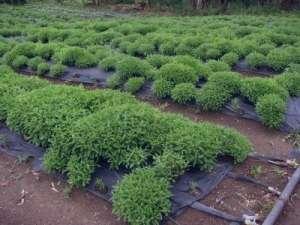 لاغری و کاهش وزن با گیاه استویا