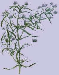 اثرات مفید گیاه اسفرزه روی بدن