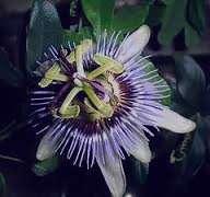 خواص و فواید گل ساعتی