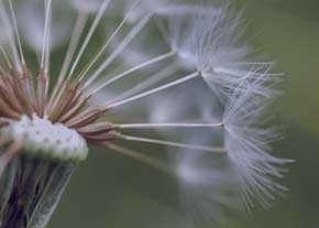 گل قاصدک , گل قاصدک خواص , گل قاصدک برای کبد , گل قاصدک و لاغری
