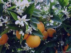 بهار نارنج ، خواص بهار نارنج , خواص عرق بهار نارج شیراز