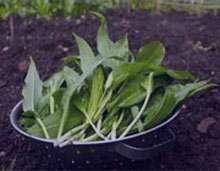 گیاه والک , گیاه والک چیست , گیاه والک ویکی پدیا , گیاه والک وخواص