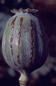 آشنایی با خواص تخم گیاه خشخاش
