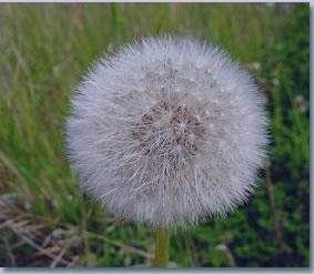 گل قاصدک , خواص گل قاصدک , جای قاصدک , گل قاصدک و لاغری , گل قاصدک کبد