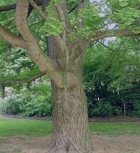جینکوبیلوبا,جینکوبیلوبا چیست,گیاه جینکوبیلوبا,قرص جینکوبیلوبا,خواص گیاه جینکوبیلوبا
