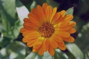 گل همیشه بهار ، گل همیشه بهار برای پوست ، خواص گل همیشه بهار