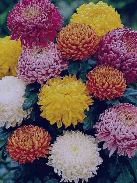 با گل داوودی تب و درد را کاهش بدهید