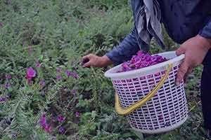 گل گاوزبان , خواص گل گاوزبان , گل گاوزبان و فشار خون , گل گاوزبان در بارداری