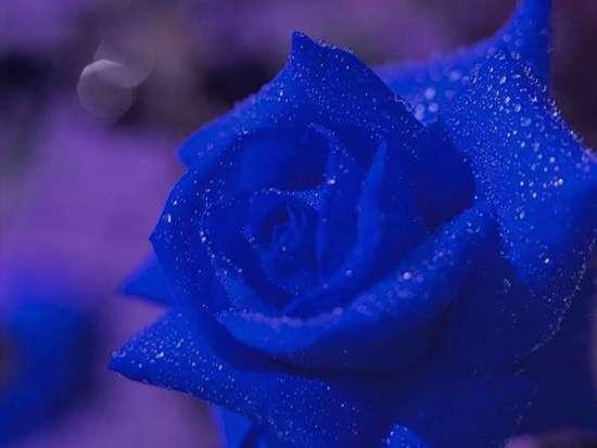 گل رز , دسته گل رز , عکس گل رز , گل رز قرمز سفید آبی سیاه