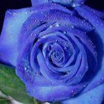 گلچین زیباترین و جدیدترین مدل های گل رز