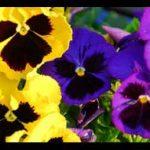 """خواص دارویی """"گل بنفشه"""" و """"روغن گل بنفشه"""" برای انواع بیماری ها"""