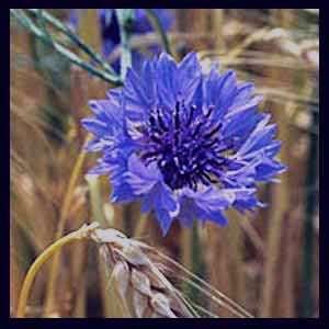 گل گندم , گل گندمی , گیاه گل گندم , خواص گیاه دارویی گل گندم, عکس گیاه گل گندم