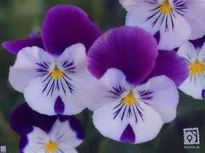 گل بنفشه , گل بنفشه آفریقایی , گل بنفشه وحشی , خواص گل بنفشه , روغن گل بنفشه , گل بنفشه دارویی
