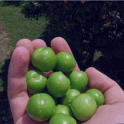 گوجه سبز , خواص گوجه سبز , گوجه سبز در بارداری , گوجه سبز و دیابت