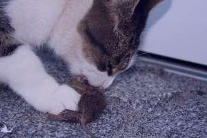 تعبیر خواب کشتن موش , تعبیر خواب موش سیاه , تعبیر خواب موش , تعبیر خواب موش سفید