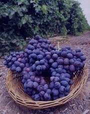 انگور , خواص انگور , فواید انگور , انگور عسگری